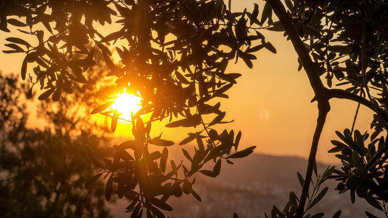 solar_olive_trees